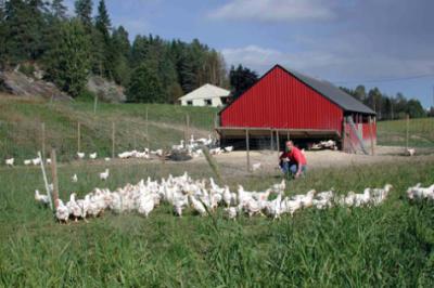 Økologisk kylling, for dyrevelferdens skyld