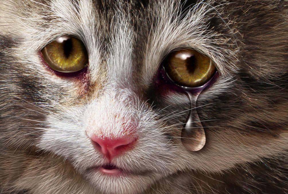 Katten med tannpine