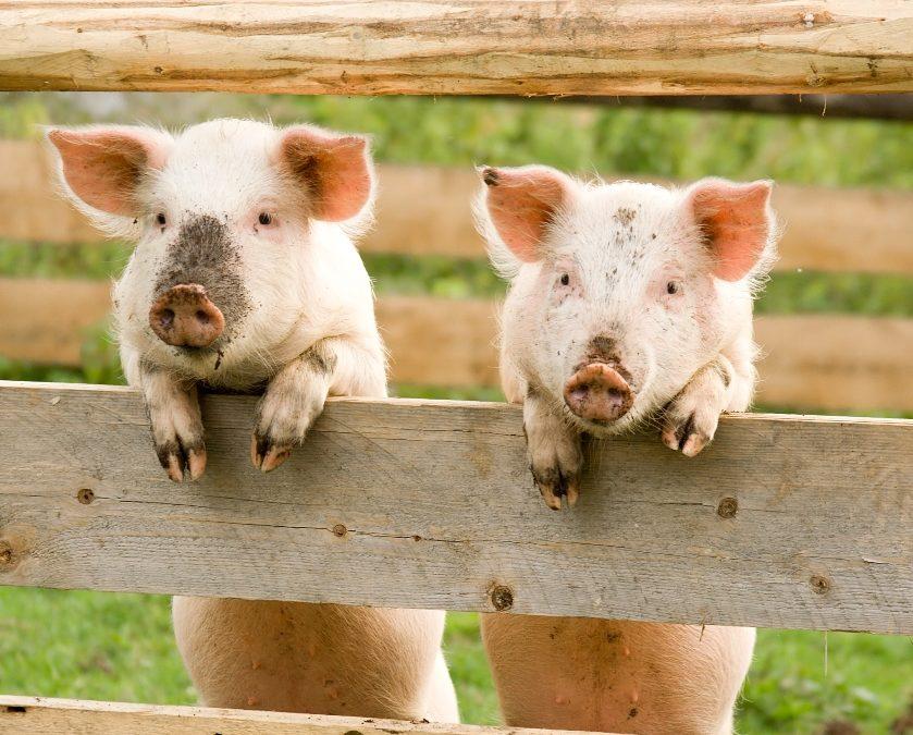Slik velger du ribbe fra glade griser