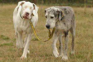 Den blinde hunden som får hjelp av sin hundevenn