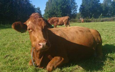 Kua som ikke ville melkes – og bonden med et hjerte av gull