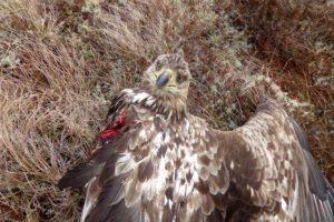 P1020065 (002) P1020065 (002) ørn med avrevet vinge pga vindturbin ulla falkdalen redigert bilde